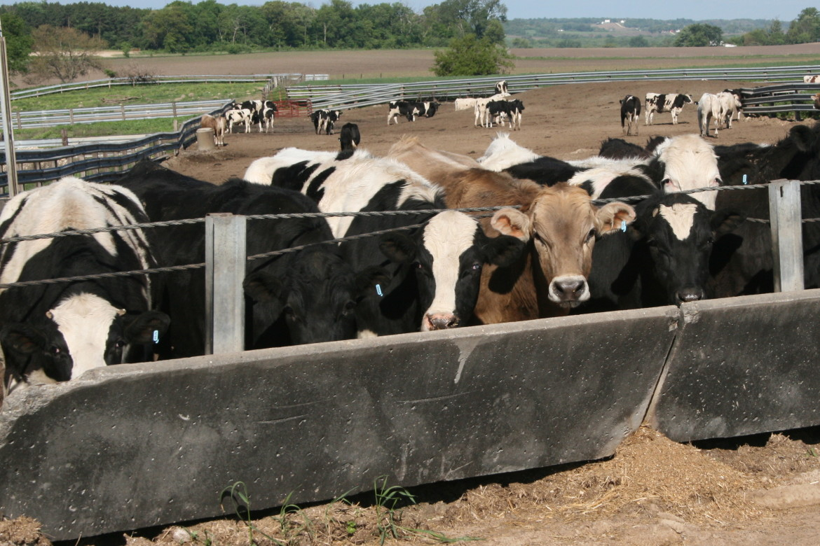 Cows gather at the trough at an open feedlot close to Anamosa, Iowa on Friday, May 17.