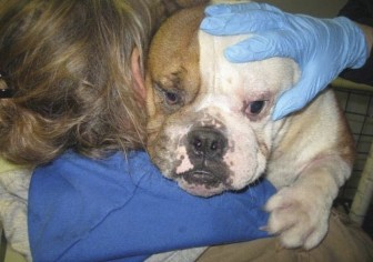 (Above) A female English bulldog named Gracie with eye problems during a Feb. 14, 2013, USDA inspection of Debra Pratt's dog breeding facility. (Below) Gracie's right eye still was red and swollen with discharge during a follow-up inspection on March 26, 2013.