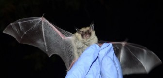 Northern Long-eared bat.