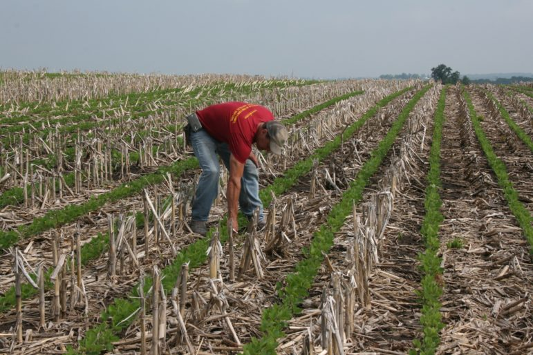 Chad Ingels, a corn, soy and hog farmer in northeastern Iowa, pulls weed in his no-till soybean field on Tuesday, June 14, 2016. Ingels uses herbicides as well as insecticides and fungicides, when needed, on his fields.