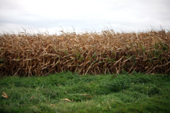 A cornfield is seen in Dane County, Wis., where atrazine is prohibited. Since 1991, the state has created atrazine prohibition zones in areas where drinking water has been contaminated with the agricultural chemical.